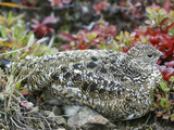 Willow Ptarmigan Camouflaged in In Autumn Vegetation (Lagopus Lagopus) Photographic Print by Patrick Endres