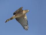 Sharp-Shinned Hawk Flying (Accipiter Striatus) Stampa fotografica di Richard Ettlinger