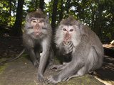 Longtailed Macaques (Macaca Fascicularis), Bali, Indonesia Photographic Print by Reinhard Dirscherl