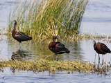 Glossy Ibis Feeding in Shallow Brackish Water, Merritt Island National Wildlife Refuge Photographic Print by Marc Epstein