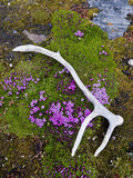 Moss Campion (Silene Acaulis), Mountain Dwelling Wildflower of the Arctic Photographic Print by Buff & Gerald Corsi