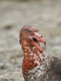 Southern Giant Petrel Eating Dead Ant Fur Seal,  Macronectes Giganteus Reproduction photographique par Gerald & Buff Corsi
