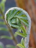 Cinnamon Fern Photographic Print by Marc Epstein