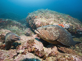 Moray Eel (Muraena Helena) and a Dusky Grouper (Epinephelus Marginatus) Photographic Print by Reinhard Dirscherl