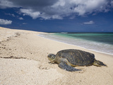 Green Sea Turtle on a Beach (Chelonia Mydas), Oahu, Pacific Ocean, Hawaii, USA Photographic Print by Reinhard Dirscherl