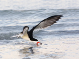 Black Skimmer (Rynchops Niger) Foraging for Fish by Skimming the Water's Surface Papier Photo par John Cornell