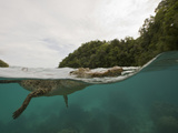 Saltwater Crocodile Swimming with its Head Just Above the Surface (Crocodylus Porosus) Micronesia Photographic Print by Reinhard Dirscherl