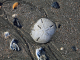 Keyhole Sand Dollar (Mellita Quinquiesperforata) Bleached Skeleton on Beach at Low Tide Photographic Print by Marc Epstein