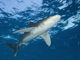 Oceanic Whitetip Shark (Carcharhinus Longimanus) Brother Islands, Red Sea, Egypt Photographic Print by Reinhard Dirscherl