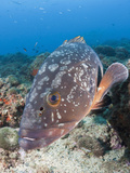 Dusky Grouper (Epinephelus Marginatus), Les Ferranelles, Medes Islands, Costa Brava Photographic Print by Reinhard Dirscherl