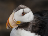 Horned Puffin Head (Fratercula Corniculata), Seward, Alaska, USA Photographic Print by Buff & Gerald Corsi