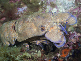 Mediterranean Slipper Lobster (Scyllarides Latus), Cap De Creus, Costa Brava, Spain Photographic Print by Reinhard Dirscherl