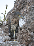Yellow-Crowned Night Heron, (Nyctanassa Violacea), Galapagos Islands, Ecuador Photographic Print by Gerald & Buff Corsi