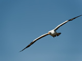 Nazca Booby (Sula Granti) Flying, Galapagos Islands, Ecuador Photographic Print by Gerald & Buff Corsi