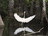 Great Egret (Ardea Alba) in Big Cypress Swamp, Everglades, Florida, USA Photographic Print by John Cornell
