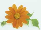 Torch Variety Tithonia Flower Photographic Print by Wally Eberhart