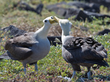 Waved Albatross (Phoebastria Irrorata), Galapagos Islands, Ecuador Reproduction photographique par Gerald & Buff Corsi