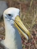 Waved Albatross (Phoebastria Irrorata), Galapagos Islands, Ecuador Fotografie-Druck von Gerald & Buff Corsi