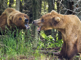 Two Female Brown Bears (Ursus Arctos) Stand Off, Katmai National Park, Alaska, USA Photographic Print by Patrick Endres