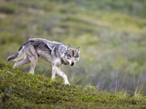 Gray Wolf Alpha Female (Canis Lupus) on the Tundra, Denali National Park, Alaska, USA Photographic Print by Patrick Endres