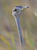 Black-Bellied Bustard, Eupodotis Melanogaster, Head, Moremi Wildlife Reserve, Botswana, Africa Photographic Print by Gerald & Buff Corsi