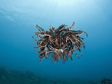 Crinoid Hovering over a Reef (Comantheria), Alam Batu, Bali, Indonesia Photographic Print by Reinhard Dirscherl