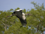 Wood Stork (Mycteria Americana) Flying Photographic Print by Marc Epstein