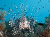 Lionfish (Pterois Volitans), Raja Ampat, West Papua, Indonesia Photographic Print by Reinhard Dirscherl