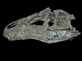 Allosaurus Dinosaur Skull from Big Horn County Photographie par Gerald &amp; Buff Corsi