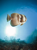 Longfin Batfish (Platax Teira), Raja Ampat, West Papua, Indonesia Photographic Print by Reinhard Dirscherl