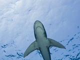 Oceanic Whitetip Shark, (Carcharhinus Longimanus) Brother Islands, Red Sea, Egypt Photographic Print by Reinhard Dirscherl