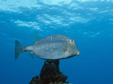 Honeycomb Cowfish (Lactophrys Polygonia), Cozumel, Caribbean Sea, Mexico Photographic Print by Reinhard Dirscherl