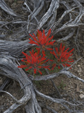 Desert Paintbrush (Castilleja Chromosa), Great Basin National Park, Nevada Photographic Print by Gerald & Buff Corsi