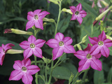 Sensation Variety Nicotiana Flowers on a Growing Plant Photographic Print by Wally Eberhart
