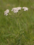 Yarrow (Achillea Millefolium) Photographic Print by Gary Cook