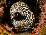 This Honeycomb Moray Eel (Gymnothorax Favageneus) Is Surrounded by Hinge-Beak Shrimp Photographic Print by David Fleetham