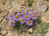 Clokey's Fleabane (Erigeron Clokeyi), Ancient Bristlecone Pine Forest, Inyo National Forest Photographic Print by Gerald & Buff Corsi