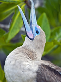 Red Footed Booby Head (Sula Sula), Tower Island, Galapagos Islands, Ecuador Photographic Print by Gerald & Buff Corsi