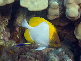 Pyramid Butterflyfish (Hemitaurichthys Polylepis) and an Endemic Hawaiian Cleaner Wrasse Photographic Print by David Fleetham