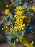 Fremont's Mahonia (Mahonia Fremontii), Capitol Reef National Park, Utah, USA Photographic Print by Gerald & Buff Corsi