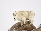 Mountain Goat (Oreamnos Americanus), Rocky Mountains, North America Photographic Print by John Cornell