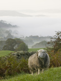 A Herdwick Sheep in the Lake District, United Kingdom Fotografisk tryk af Ashley Cooper