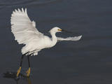 Snowy Egret Taking Off from Water Photographic Print by Richard Ettlinger