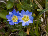 Gentian Flowers (Gentiana Sedifolia), Antisana Ecological Reserve, Ecuador Photographic Print by Gerald & Buff Corsi