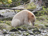 Kermode or Spirit Bear Variety of Black Bear (Ursus Americanus Kermodei) Eating Salmon Photographic Print by Cheryl Ertelt