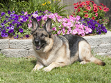 Large, Alert German Shepherd Dog Sitting in a Yard Photographic Print by Cheryl Ertelt