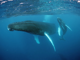 Humpback Whale, Mother and Calf (Megaptera Novaeangliae) Rurutu Photographic Print by Reinhard Dirscherl