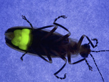 Firefly Flashing at Night, Fireflies are Called Lightning Bugs Photographic Print by Jeff Daly