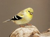 American Goldfinch (Carduelis Tristis), North America Photographic Print by John Cornell