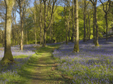 Bluebells on the Forest Floor Along a Path in Carstramon Wood, Dumfries and Galloway, Scotland, UK Photographic Print by Gary Cook